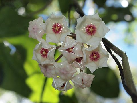 五分咲きサクララン