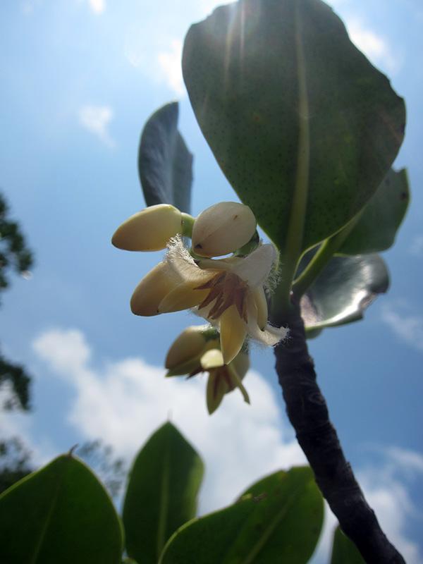 ヤエヤマヒルギの花
